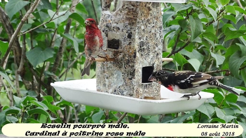 Roselin pourpré mâle et Cardinal poitrine rose mâle  Cardin12
