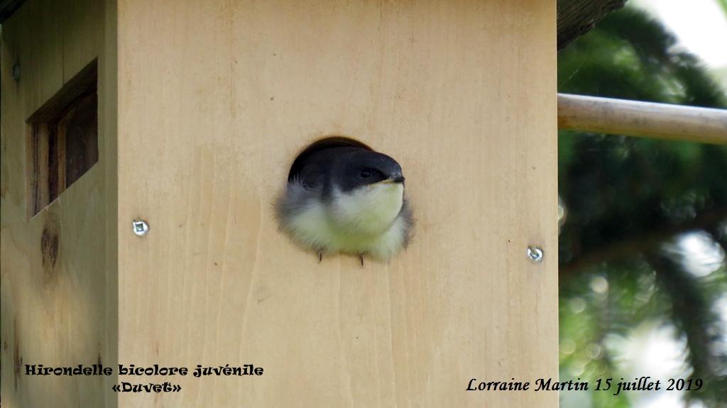 Bébés Hirondelles bicolores  Img_0011