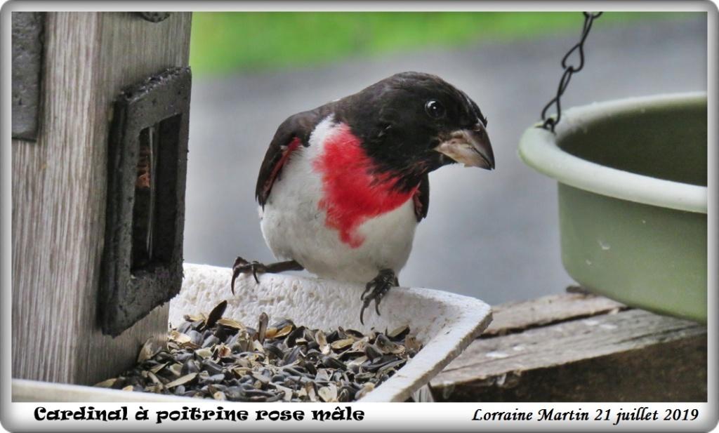 Cardinal à poitrine rose mâle 21 juillet 2019 Img_0215