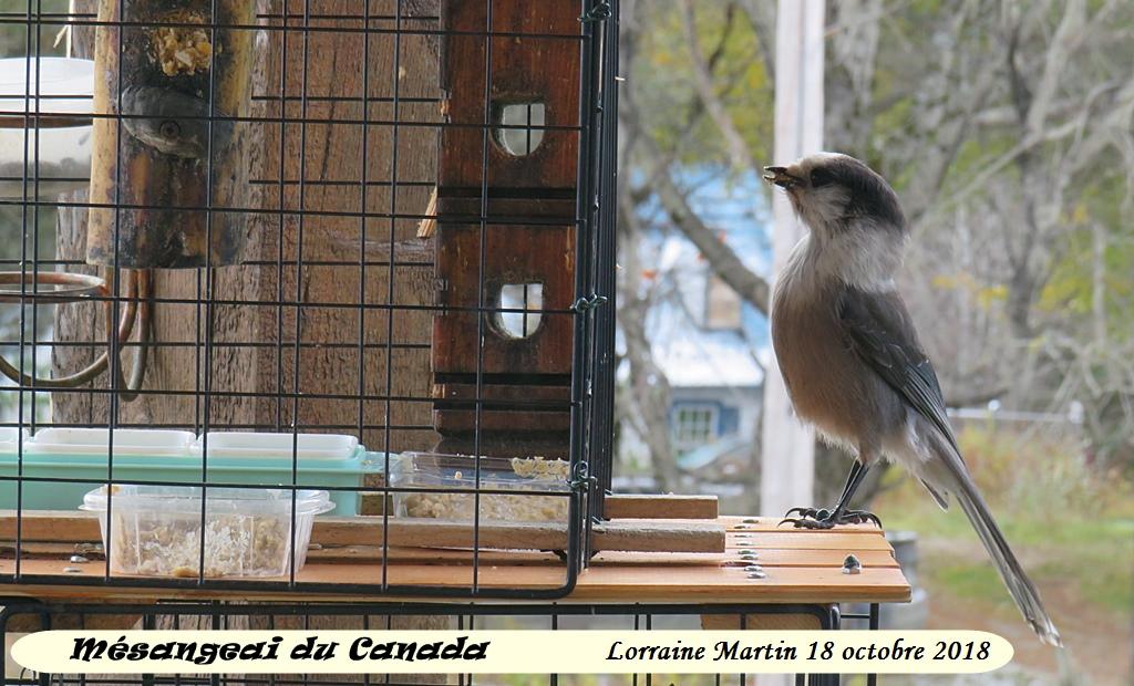 Mésangeai du Canada au «pain d'oiseaux» Img_0410