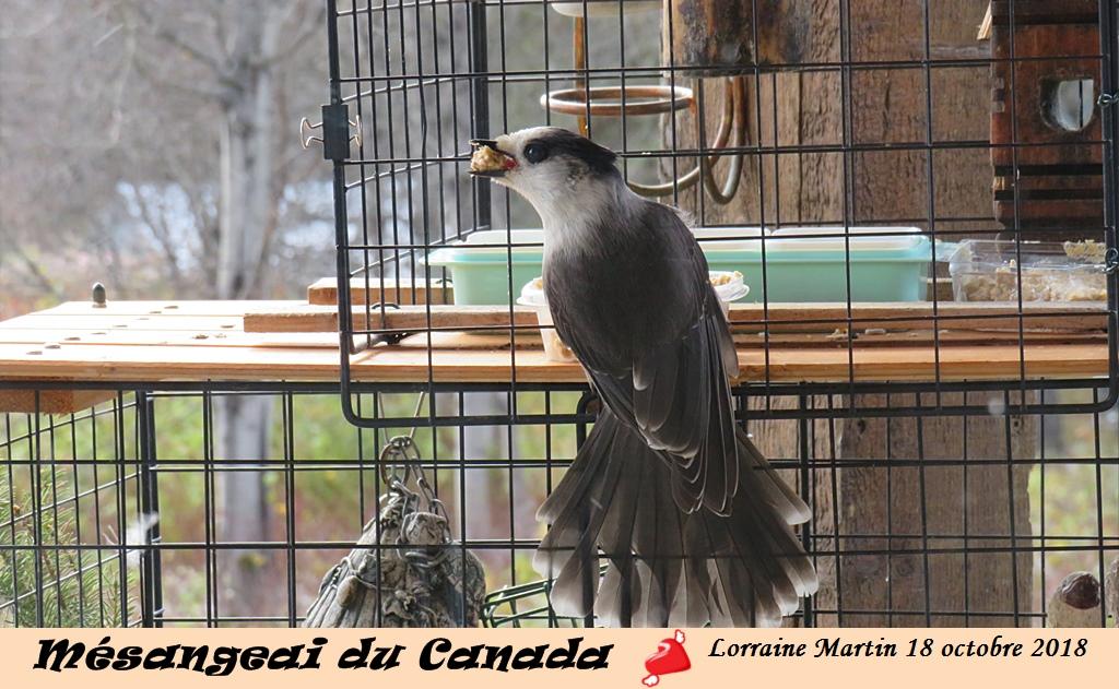 Mésangeai du Canada au «pain d'oiseaux» Img_0411
