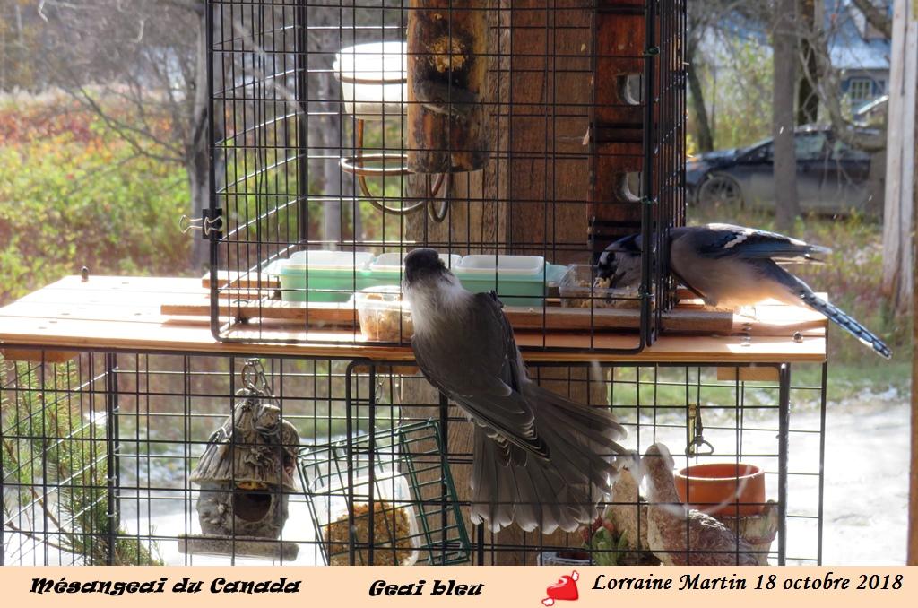 Mésangeai du Canada au «pain d'oiseaux» Img_0412