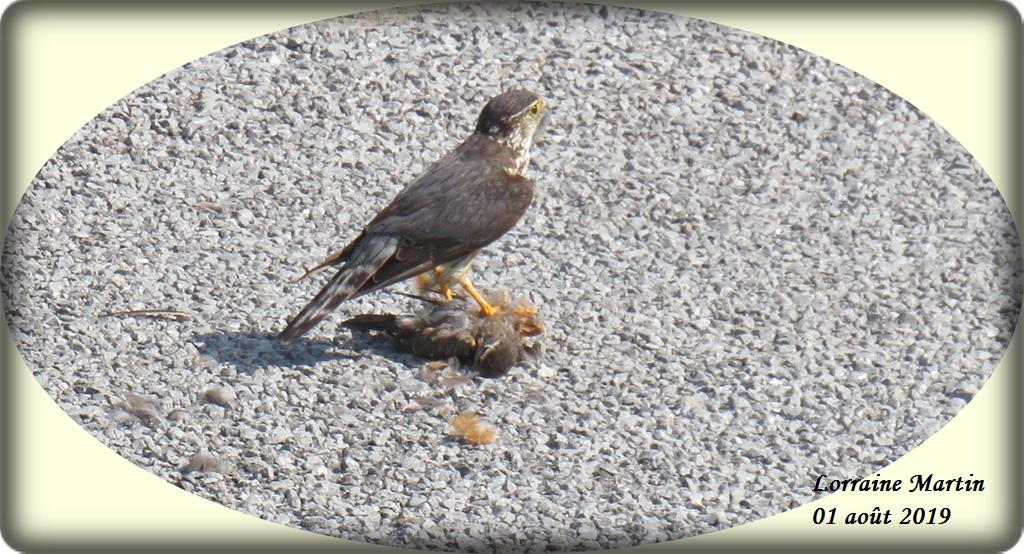 Oiseau de proie et sa capture Img_0619