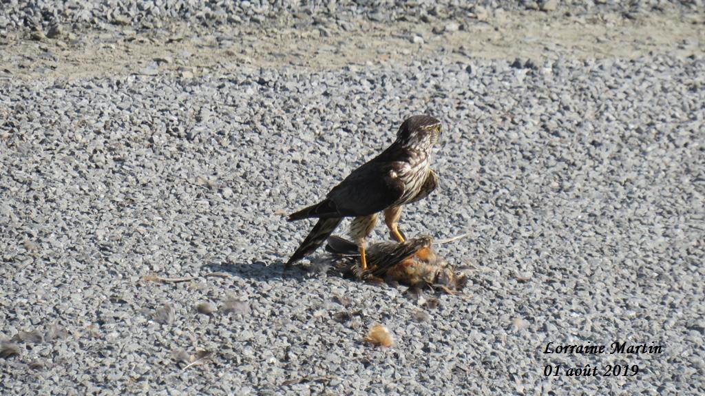Oiseau de proie et sa capture Img_0621