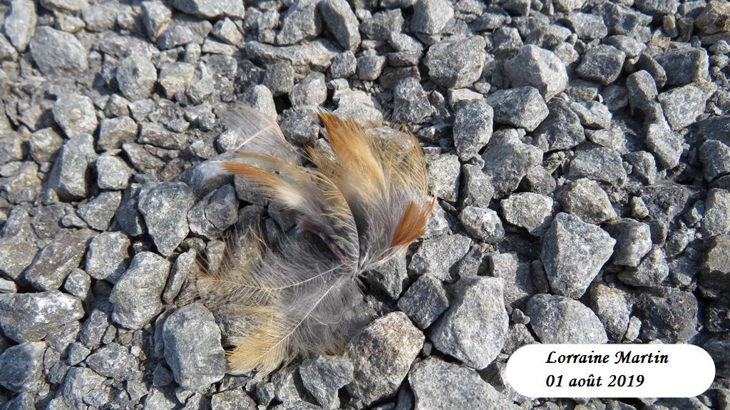 Oiseau de proie et sa capture Img_0626
