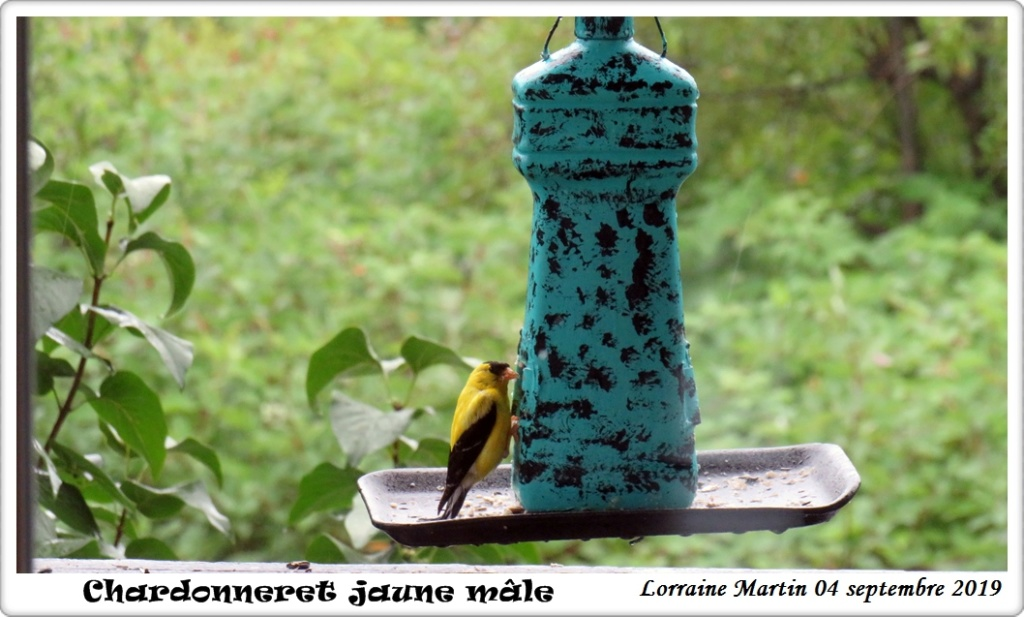 Chardonneret jaune mâle  Img_1314