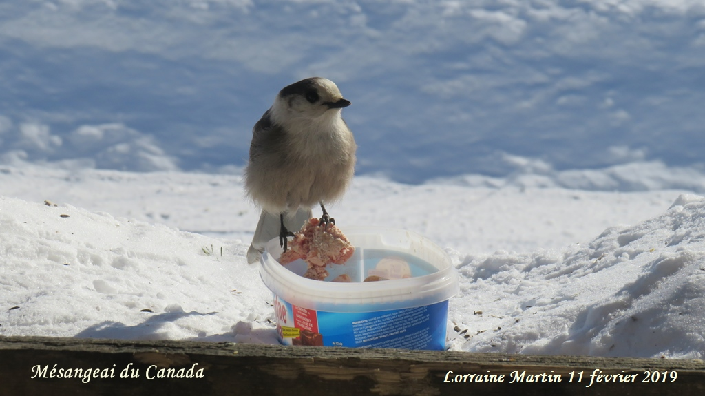 Mésangeai du Canada  Img_2812