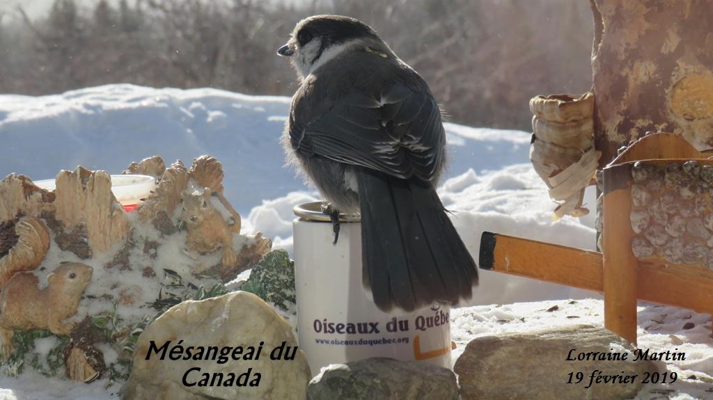 Mésangeai du Canada, 19 février 2019  Img_2910