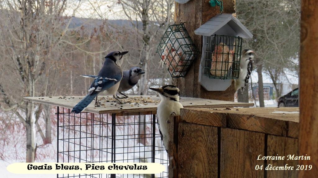 Geais bleus et Pics chevelus Img_2921