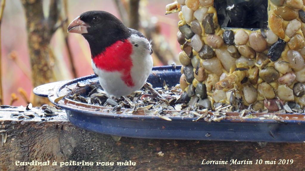 Cardinal à poitrine rose mâle Img_4711