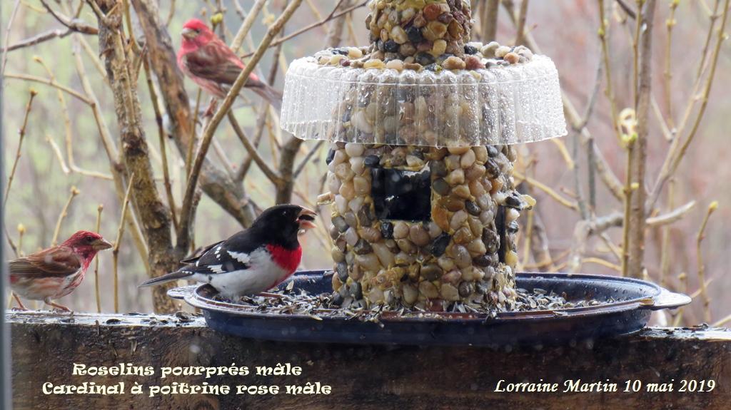 Cardinal à poitrine rose mâle Img_4712