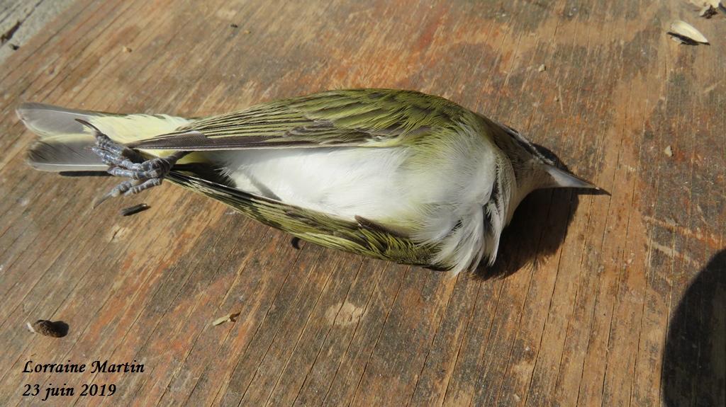 Oiseau mort aide identification Merci  Img_6012