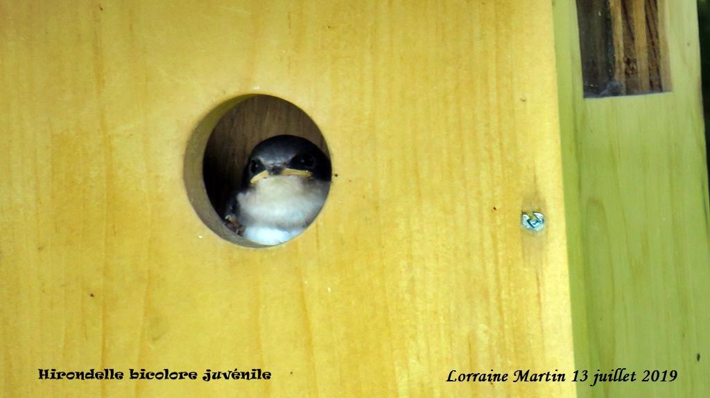Bébés Hirondelles bicolores  Img_6810