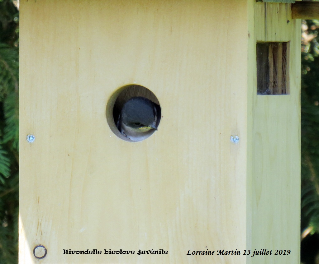 Bébés Hirondelles bicolores  Img_6811