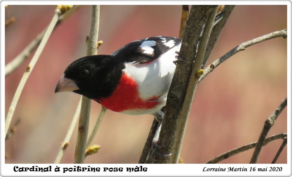 Cardinal à poitrine rose  Img_7311
