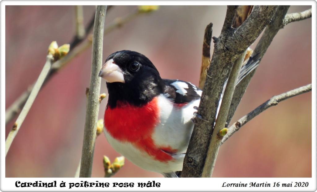 Cardinal à poitrine rose  Img_7312