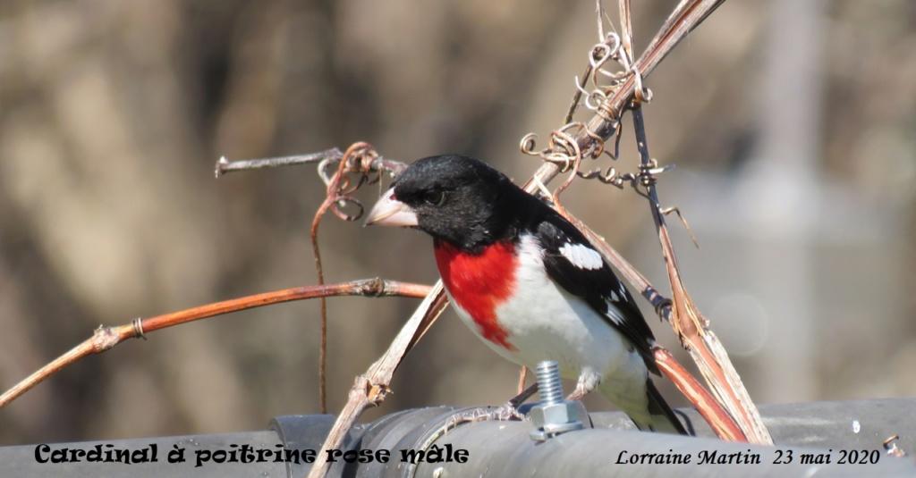 Cardinal à poitrine rose  Img_7710