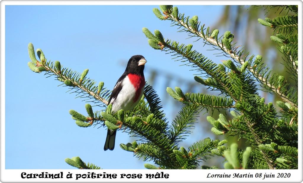 Cardinal à poitrine rose mâle  Img_8210