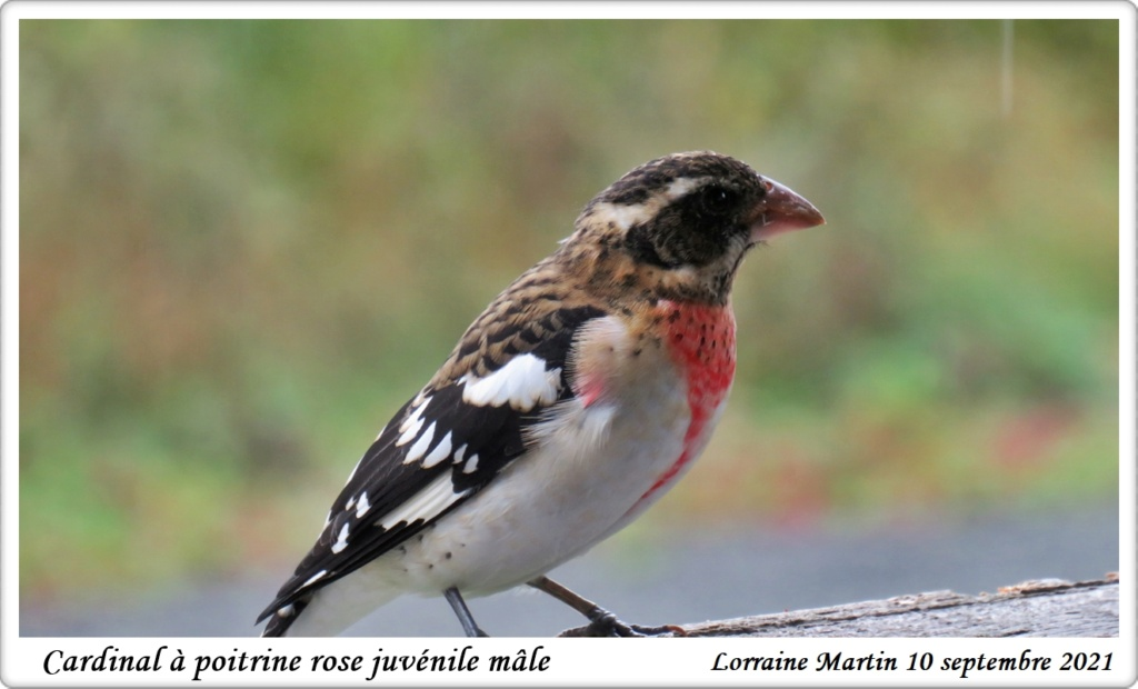Cardinal à poitrine rose juvénile  Img_9610