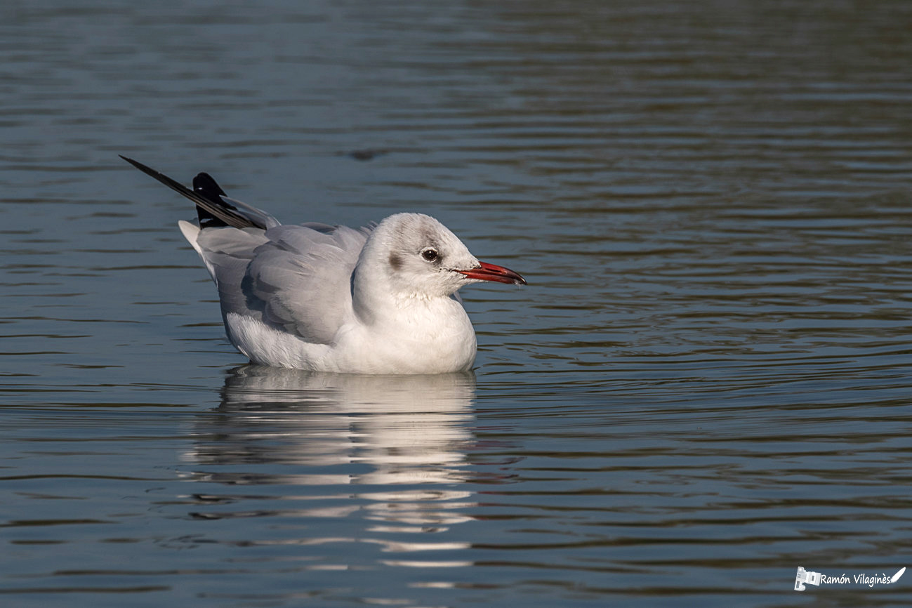 Mouette rieuse Mouett10