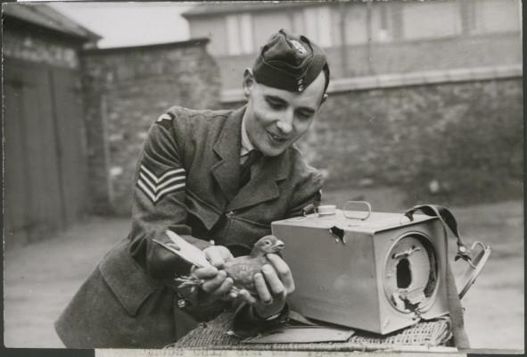 Pigeons dans la RAF Wwii-p10