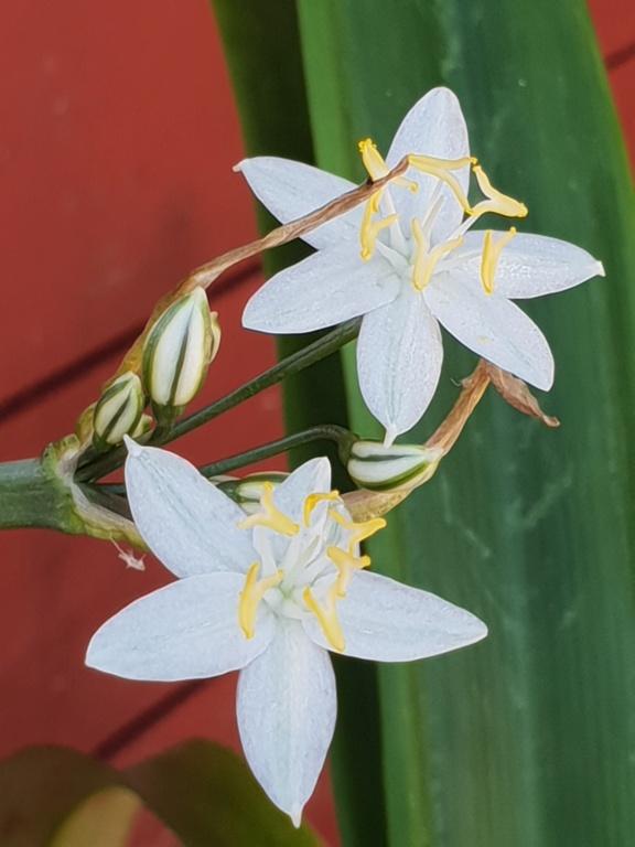 Zwiebelblümchen aus Spanien - gelöst: Lapiedra martinezii 20180812