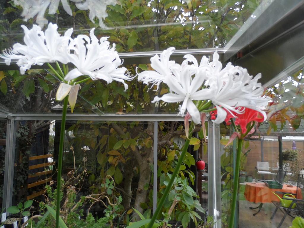Amaryllisgewächse - Amaryllidaceae (Hippeastren, Nerine, Amaryllis, Agapanthus und auch Allium & Narzissen) - Seite 62 Sam_6317