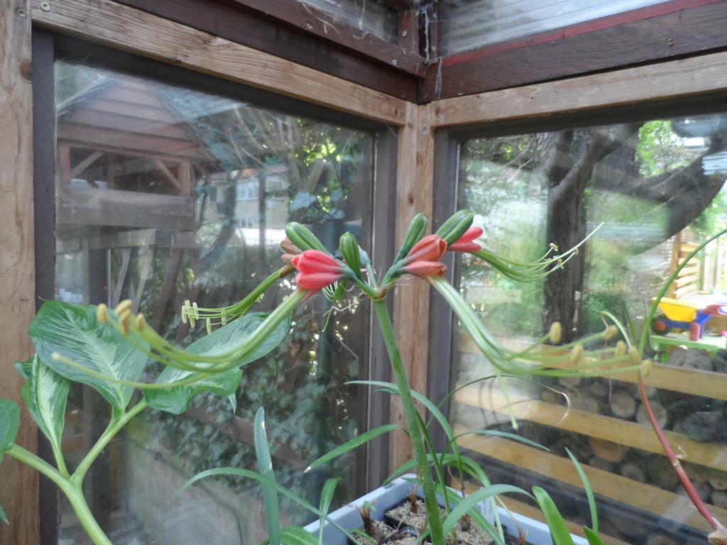 Amaryllisgewächse - Amaryllidaceae (Hippeastren, Nerine, Amaryllis, Agapanthus und auch Allium & Narzissen) - Seite 74 Sam_6712