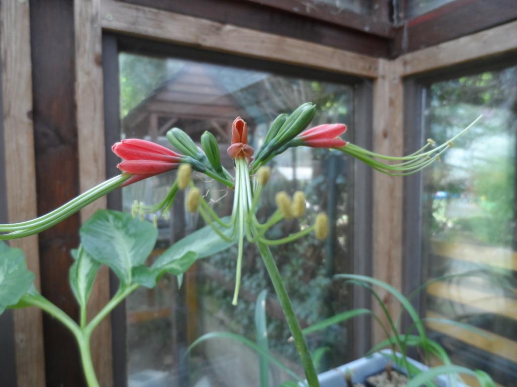 Amaryllisgewächse - Amaryllidaceae (Hippeastren, Nerine, Amaryllis, Agapanthus und auch Allium & Narzissen) - Seite 74 Sam_6713