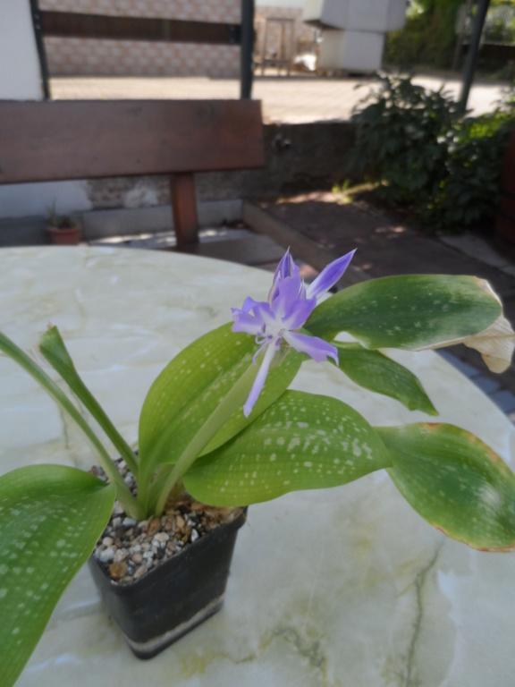 Amaryllisgewächse - Amaryllidaceae (Hippeastren, Nerine, Amaryllis, Agapanthus und auch Allium & Narzissen) - Seite 76 Sam_6814