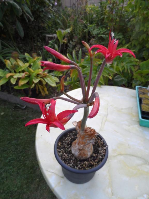 Amaryllisgewächse - Amaryllidaceae (Hippeastren, Nerine, Amaryllis, Agapanthus und auch Allium & Narzissen) - Seite 76 Sam_7013