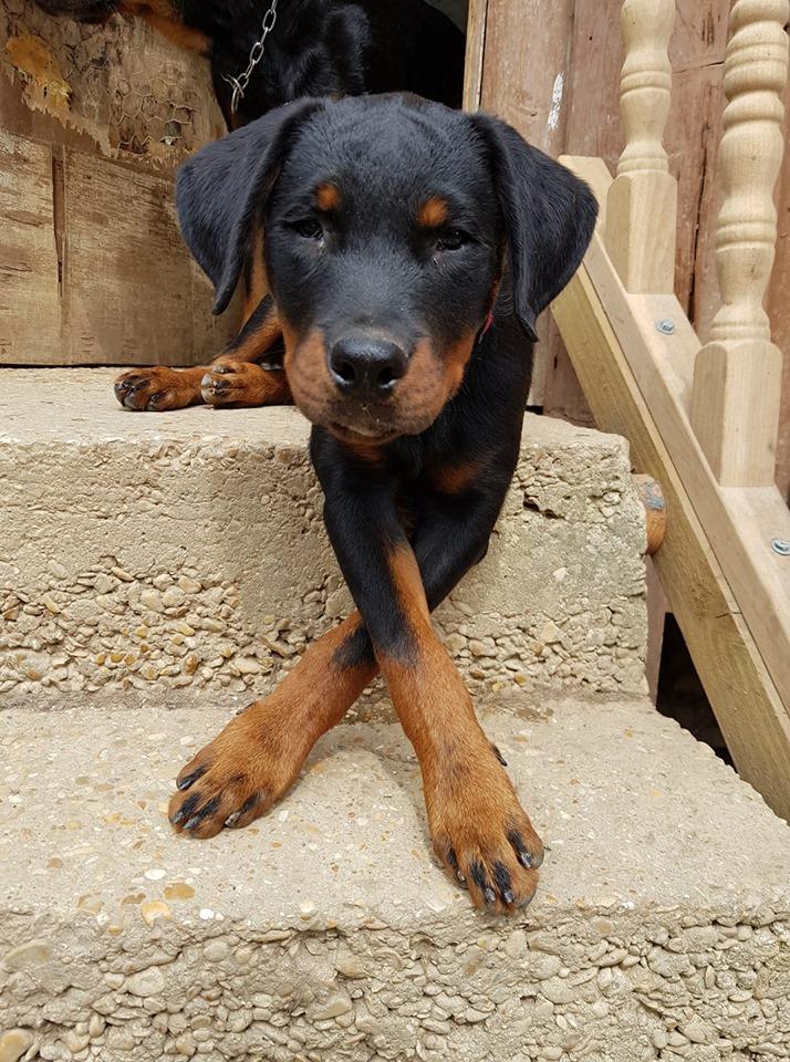 Paco, chiot rottweiler porteur de handicap (non adoptable mais cherche parrainages) 68541810