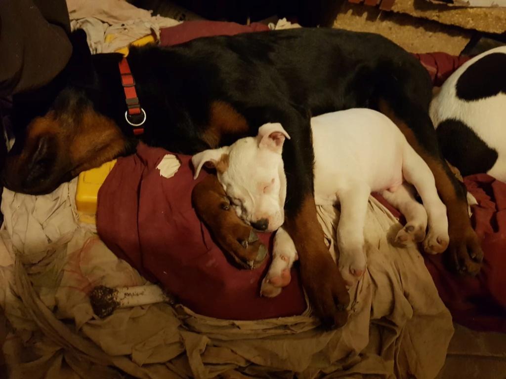 Paco, chiot rottweiler porteur de handicap (non adoptable mais cherche parrainages) 79095710