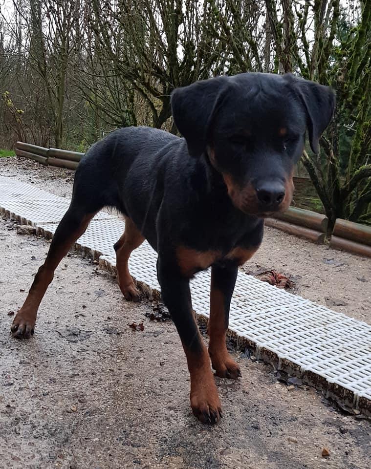 Paco, chiot rottweiler porteur de handicap (non adoptable mais cherche parrainages) 79845510