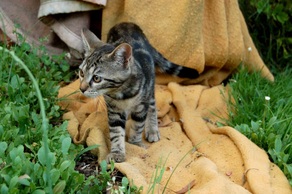 Nalin, chatonne à adopter Dsc_0922
