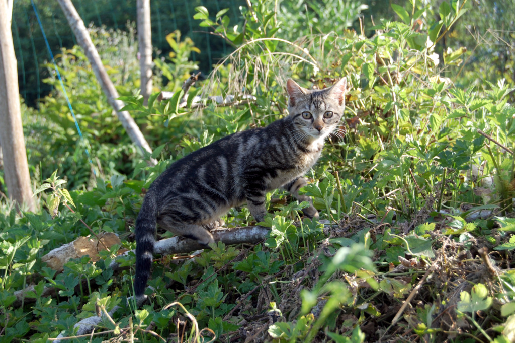Nalin, chatonne à adopter Dsc_0923