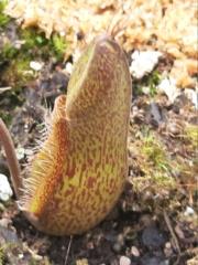 Nepenthes haute altitude en serre 20200593