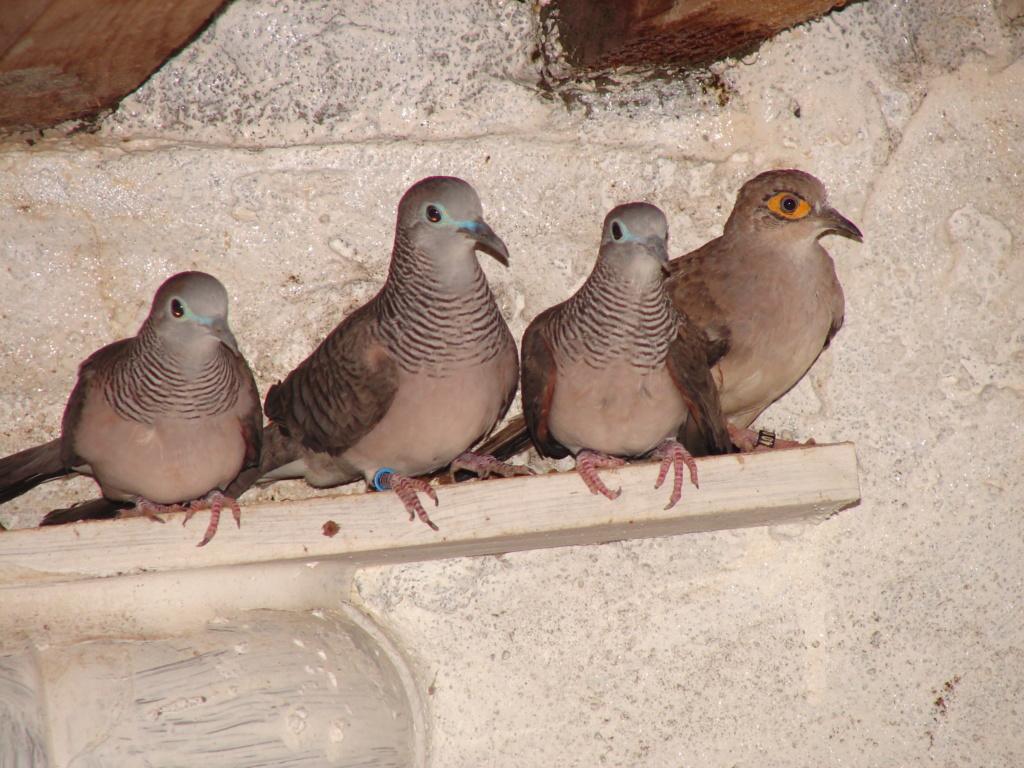 colombe cécilée et placide Dsc00023