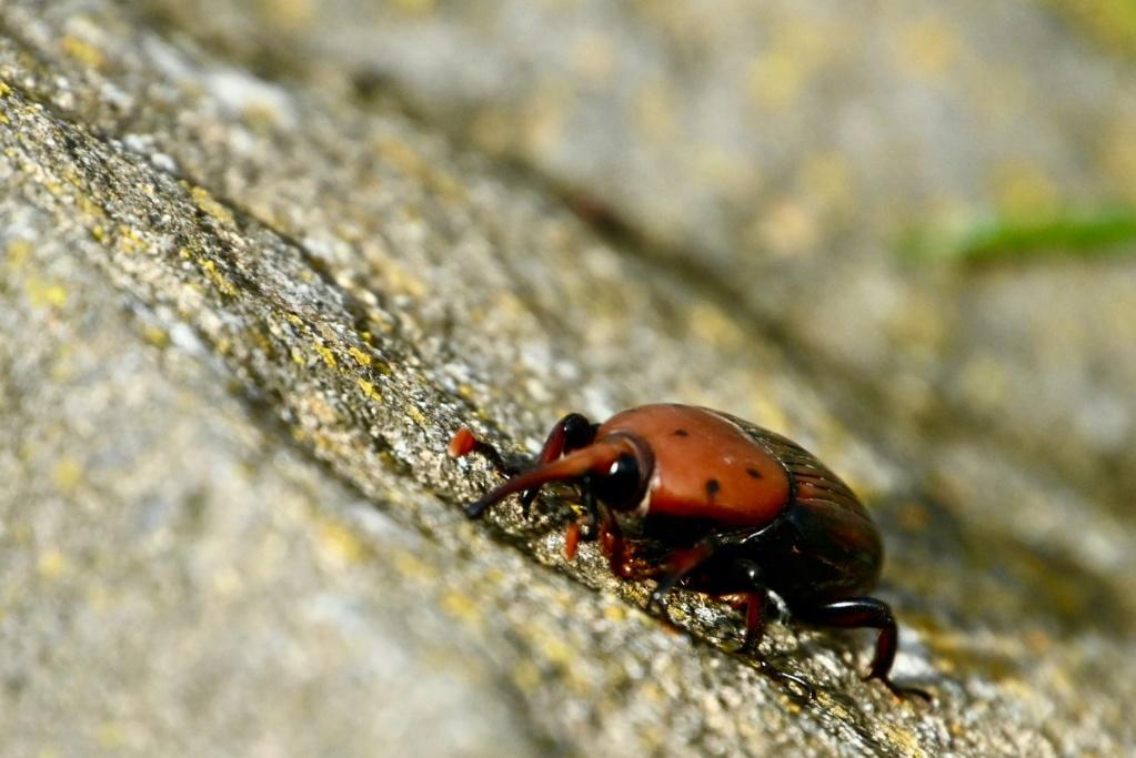 scarabée brun C11