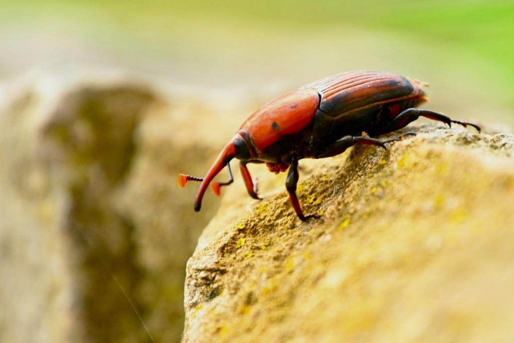 scarabée brun D11