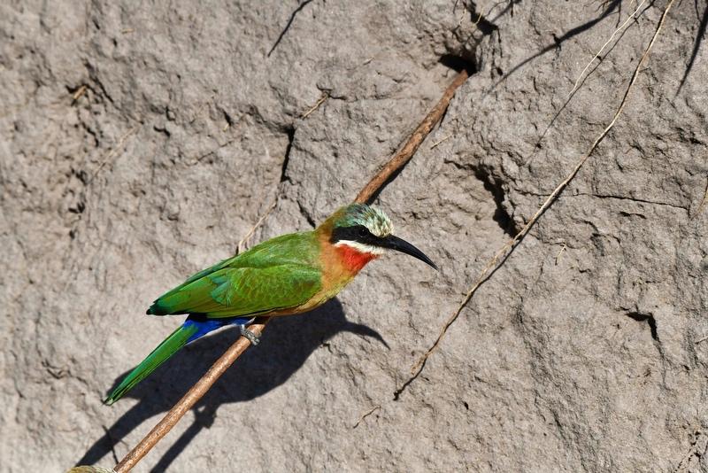 Guépier de Namibie Dsc_1813