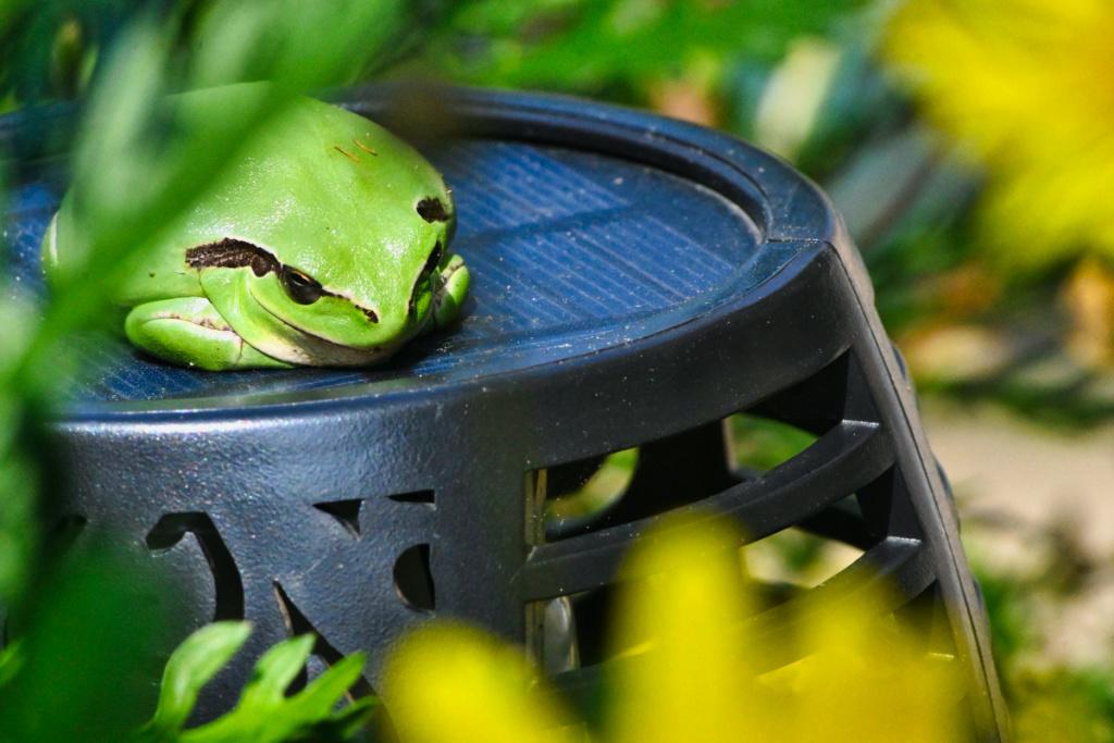 petit grenouille du bassin  Dsc_2315