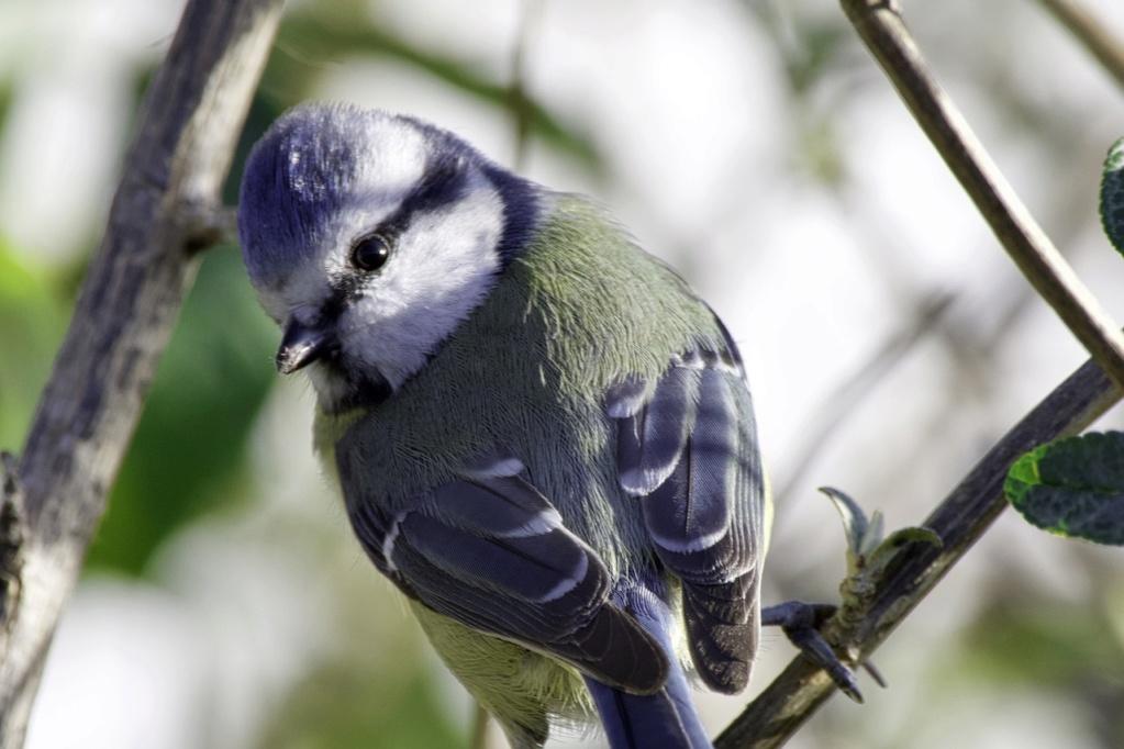 une jolie mésange bleue Dsc_3810