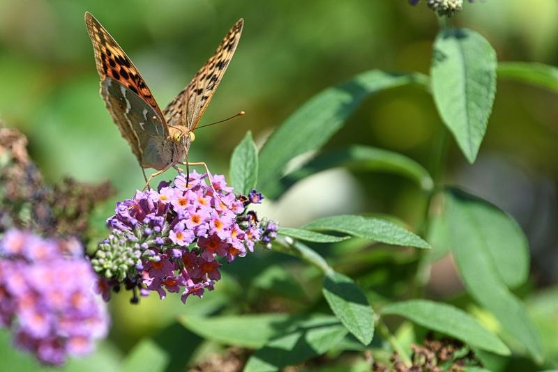 papillons sur le buddleia Dsc_5110