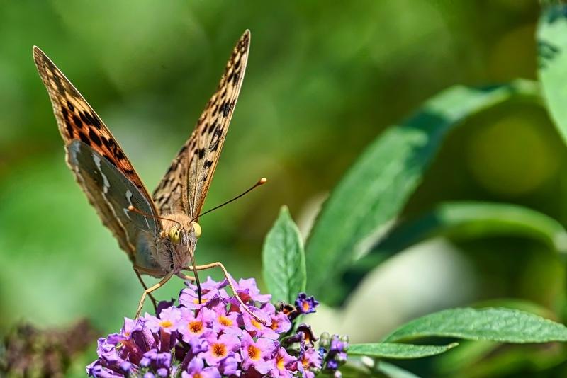 papillons sur le buddleia Dsc_5111