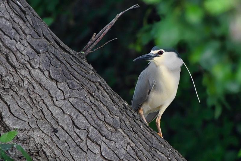 nouveaux oiseaux du jour Dsc_5811