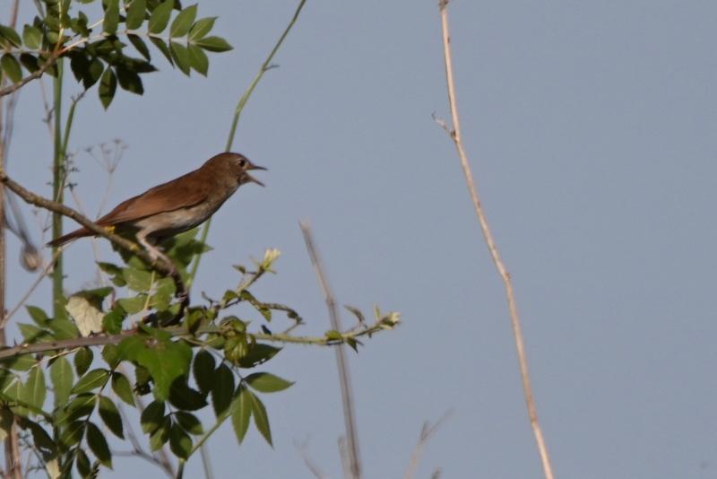 de nouveaux oiseaux  Dsc_9111