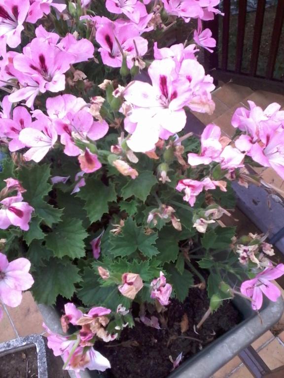 Quelle est cette fleur ? - pelargonium Fleur_12