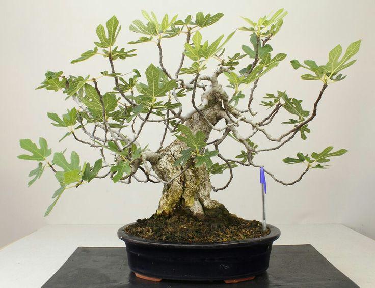 Asesoramiento con nuevos bonsáis 7ad51210