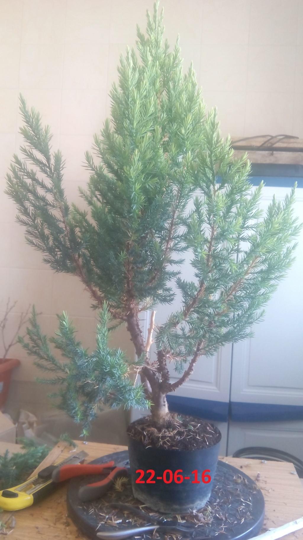 Evoución juniperus stricta en 2 años y medio Img-2010